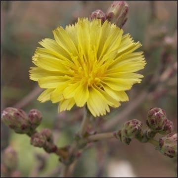 Cette délicate fleur jaune est une fleur de ?