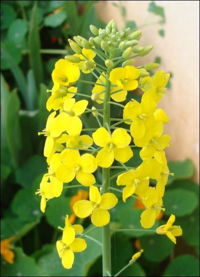 Ceci est la fleur d'un légume racine, lequel ?