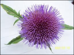 Cette belle fleur est une fleur ?