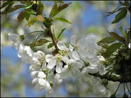 Elles sont si belles ces fleurs, qu'on en fait des parcs entiers. Ce sont les fleurs ?