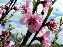 La joliesse rose de ces fleurs n'est pas sans rappeler la délicatesse du fruit, qui est ?