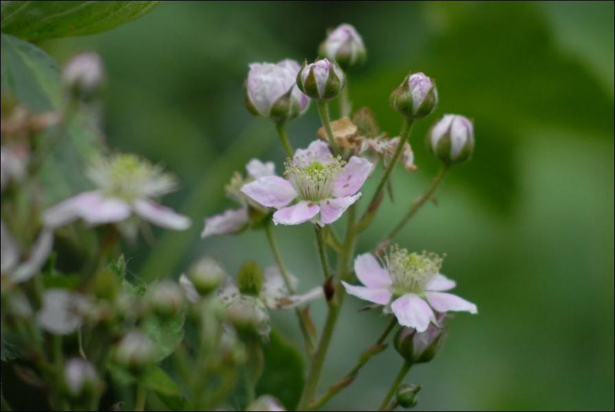 De petites fleurs blanches pour un fruit délicieux, qui est ?