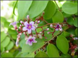Voici la jolie fleur mauve du fruit étoilé qu'est ?