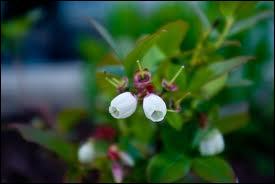 La toute petite fleur d'un petit fruit sombre et délicieux, c'est ?