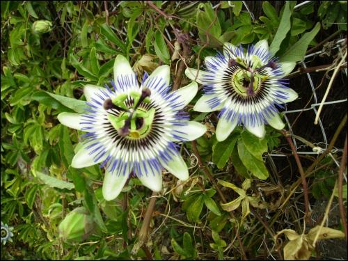 Voici les fleurs superbes d'un fruit étrange, épicé et délicieux qui est ?