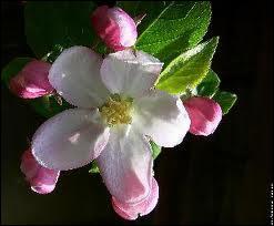 Les belles fleurs caractéristiques de paysages printaniers, celles ?