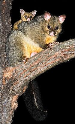 Le phallenger-renard, marsupial dAustralie, est un :