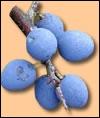 Quelle est cette prune ?