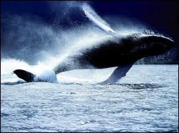 Baleine se traduit par :
