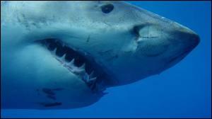 Requin se traduit par :
