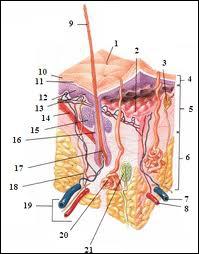 Cochez la couche de la peau qui est la plus profonde