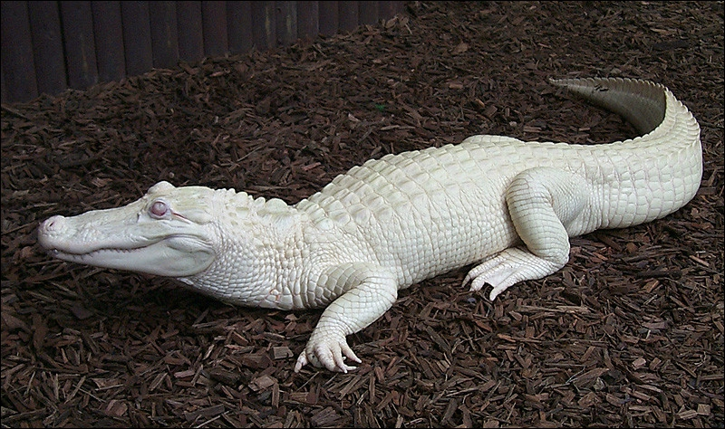 L'alligator peut être albinos !