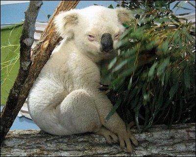 Ce panda est entièrement blanc, il est donc albinos !