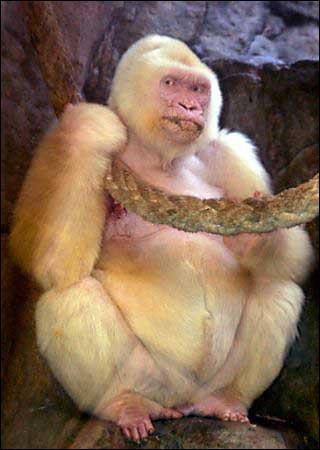 L'orang outan peut être blanc et albinos, comme sur la photo !
