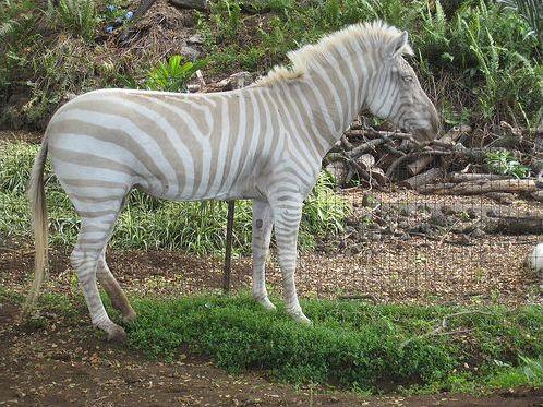 Les animaux albinos !