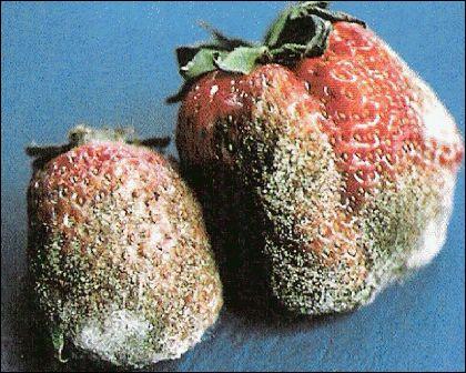 Quel est ce fruit pourri ?