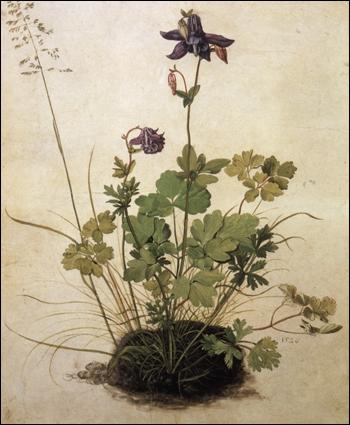 Ancolie - par le plus grand peintre et graveur allemand de la Renaissance, également mathématicien (1471-1528)