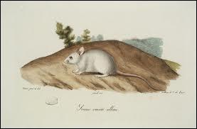 La souris ne creuse jamais de terriers dans les champs !