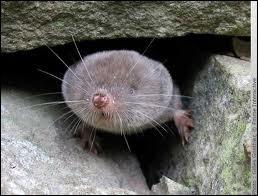 La musaraigne est une grosse souris !