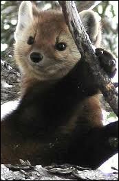 La martre est le seul animal à pouvoir attraper un écureuil à la course dans un arbre !