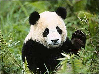 Symbole du WWF et grand amateur de bambou...