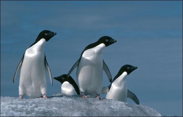 Habite les terres Adélie en Antarctique...