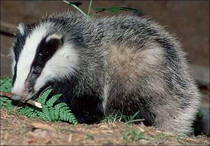 Comment s'appelle cet animal trapu et court sur pattes, portant des bandes noires sur son museau blanc ?