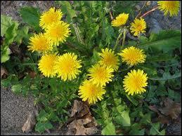Comment nomme-t-on la fleur de pissenlit ?