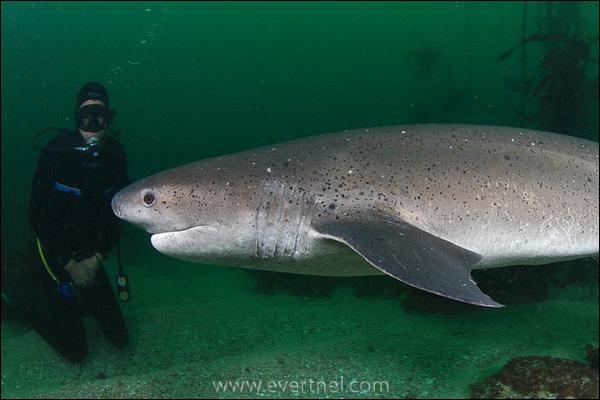 Voici le plus primitif des requins de par son squelette proche des espèces éteintes :
