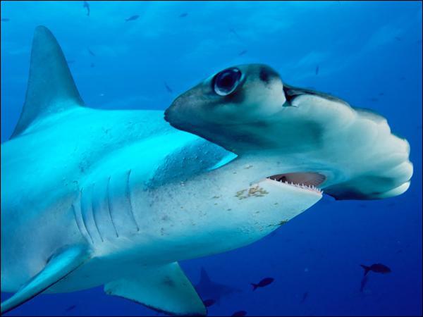 Quel est ce requin nommé ainsi à cause de la forme de sa tête ?