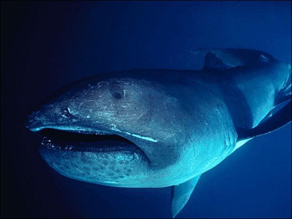 Découvert en 1976, cette espèce de requin vit dans les eaux profondes :