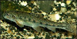 Quel est ce poisson très sensible à la pollution des eaux ?