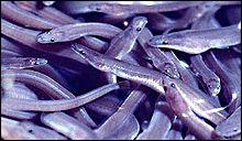 Alevins de l'anguilles, aussi appelés pibales, quels sont ces poissons ?