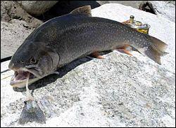 On trouve ce poisson dans les lacs de montagne, il fait partie des salmonidés :