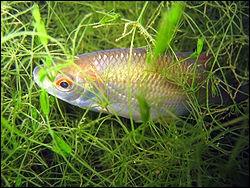 Quel est ce poisson qui peut mesurer jusqu'à 45 cm et dont le poids varie entre 1 à 2 kg ?