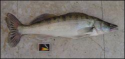 Quel est ce poisson carnassier ?