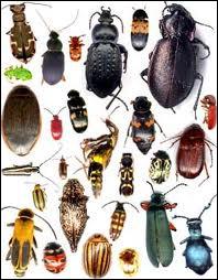 Combien existe-t-il de milliers d'espèces de coléoptères ?