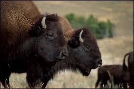 Le chasseur de bisons Buffalo Bill a-t-il vraiment existé ?