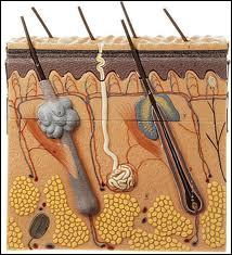 Complétez l'affirmation suivante. Annexée au poil, la glande sébacée sécrète ... qui limite le dessèchement de la peau, joue un rôle bactéricide et lubrifie le poil.