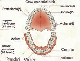 Quelles sont les dents définitives qui n'apparaissent qu'entre 8 et 13 ans ?