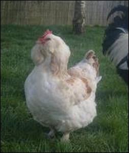 Poule originaire d'une commune de l'Eure et Loir caractérisée par un plumage abondant ... .