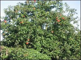 Quelle est la longévité moyenne d'un pommier ?