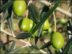 L'olivier est...