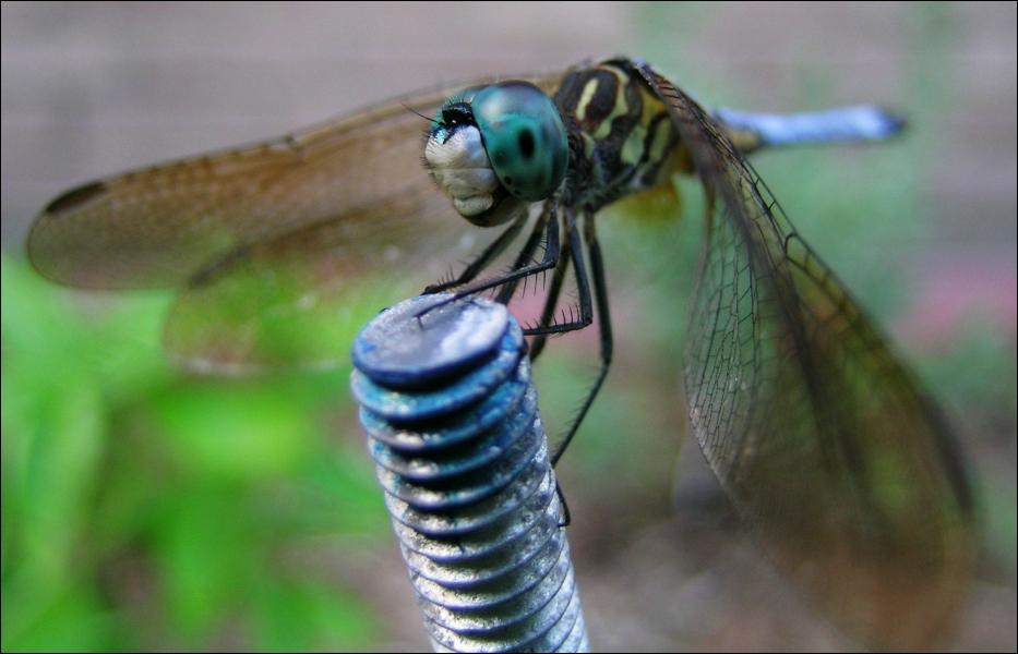 La libellule et la demoiselle sont le même insecte !