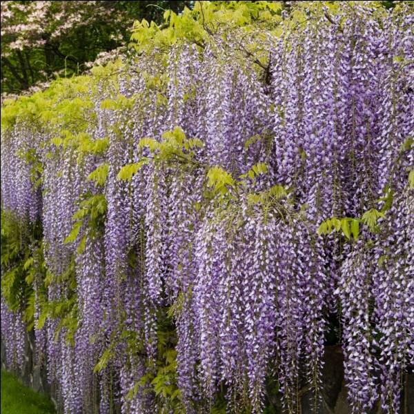 Tantôt acides aminés ou bien superbe plante grimpante aux magnifiques fleurs luxuriantes, de blanches à mauves en passant par le bleu-violet.