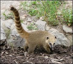 Quel est ce mammifère d'Amérique du Sud vivant en groupe ?