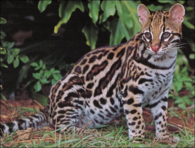 Quel est ce fauve qu'on trouve beaucoup au Texas, qui pèse de 9 à 13 kg et qui chasse la nuit ?