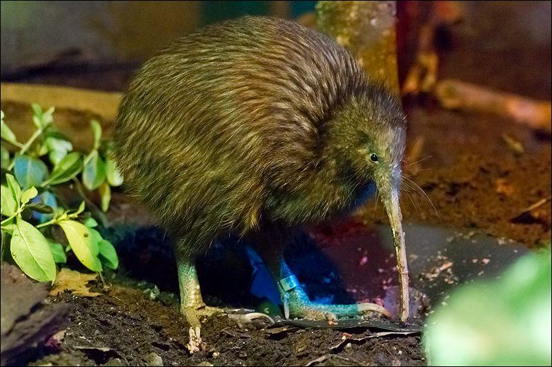 Ces oiseaux endémiques de Nouvelle-Zélande sont incapables de voler, comment sont-ils appelés ?