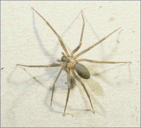 Sur quel continent trouve-t-on les araignées les plus dangereuses !