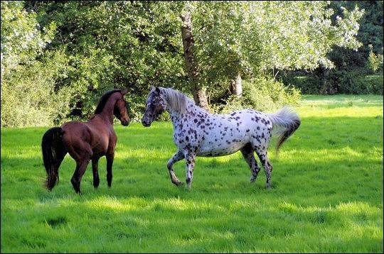 Vous allez donc chercher un cheval que vous n'avez jamais vu, la seule indication qu'on vous donne, c'est que cet équidé a 1 balzane haut-chaussée et que c'est le seul. Qu'est-ce qu'une balzane ?
